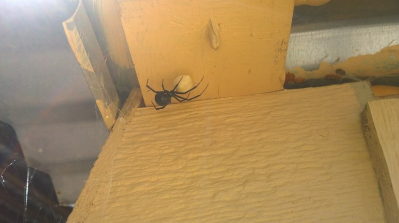 Huge Black Widow spider on the well house.